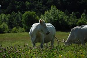 Vaches du Voisin